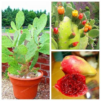 Seeds Promotion 100 Pcs Opuntia Seeds Rare Prickly Pear Sweet Nutritous Cactus Edible Fruit Seeds Flower Garden Bonsai