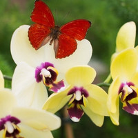 Real Red Heart Butterfly Photography Print