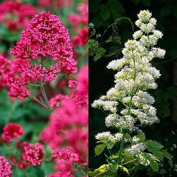 Jupiter's Beard Mix Flower Seeds (Centranthus Ruber Coccineus) 50+Seeds