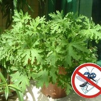 200PCS Mosquito Repelling Grass Seeds Home Garden Bonsai Plant Easy planting Indoor Plant