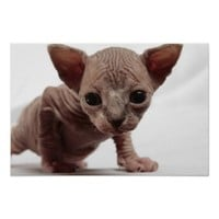 Freaky Cute Furless Sphynx Kitten