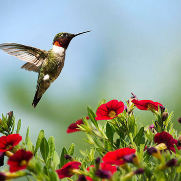 Hummingbird Frolic with Flowers, 8x10 Hummingbird Print, Wall Art, Hummingbird in Flight, Bird Photography, Photo Print
