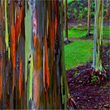 20 Rainbow Tree Seeds - Eucalyptus Gum Eucalyptus Deglupta -  Exotic and Fun Tree, easy to grow